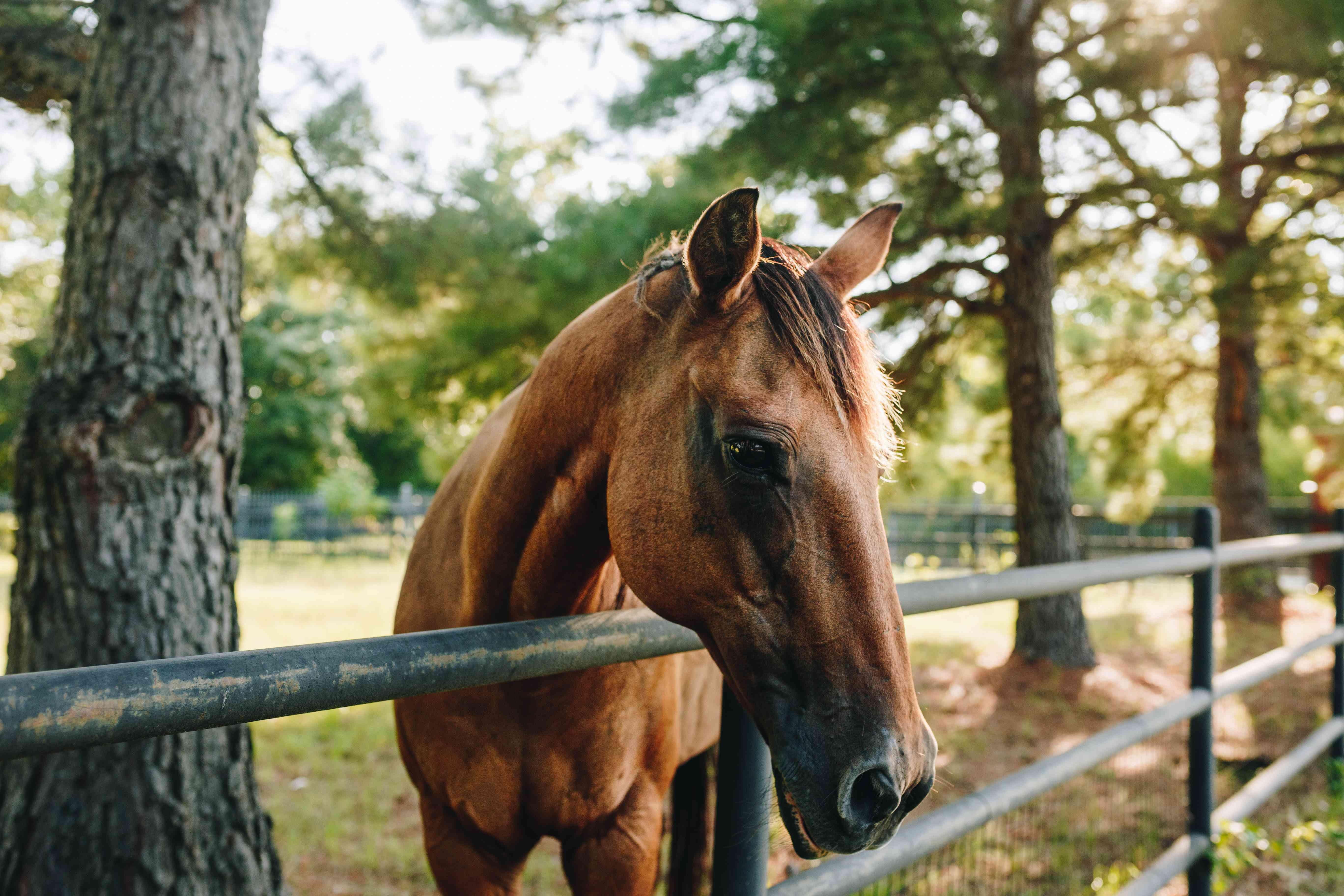 brown horse hangs head over metal fence