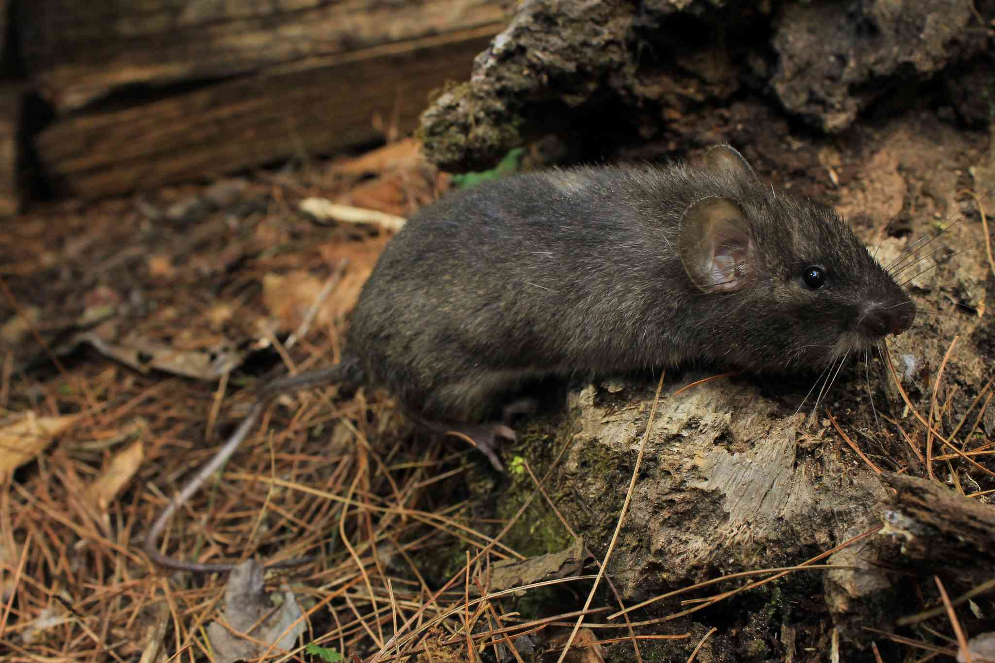 A grey Nelson's spiny pocket mouse sitting on a rock surrounded by pine needles.