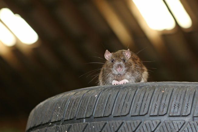 A rat sits on tires in a garage