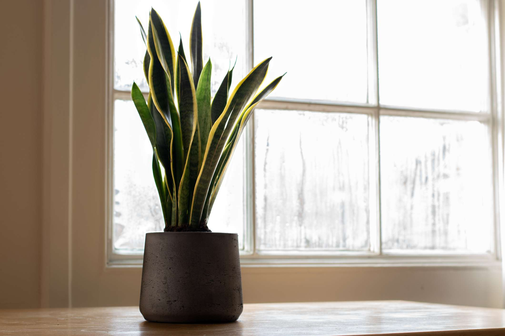 Snake plant in a pot indoors