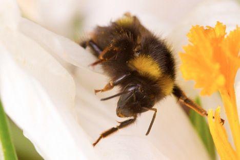 bee climbs across a flower petal