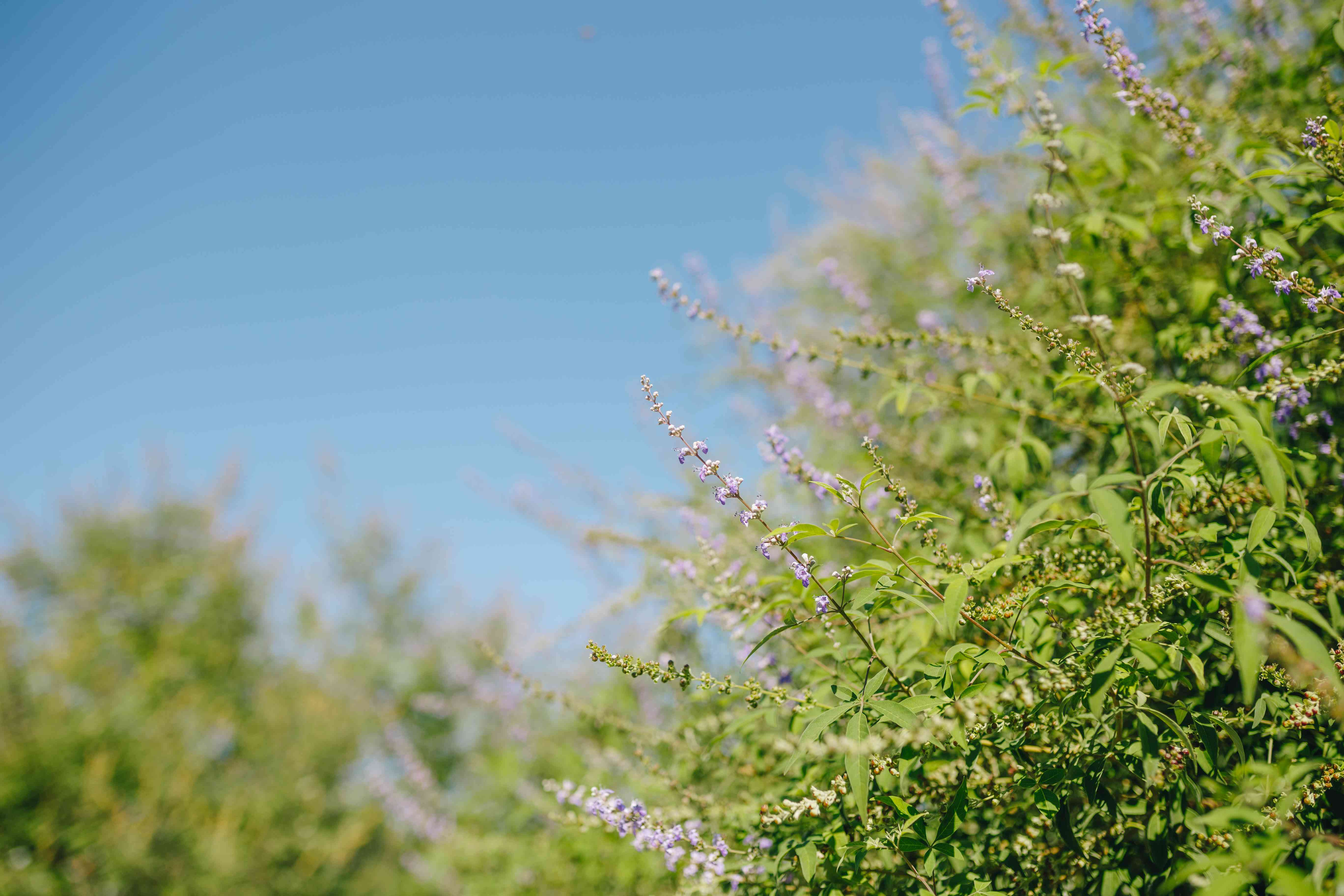 Vitex tree limbs with purple flowers before a blue sky background.