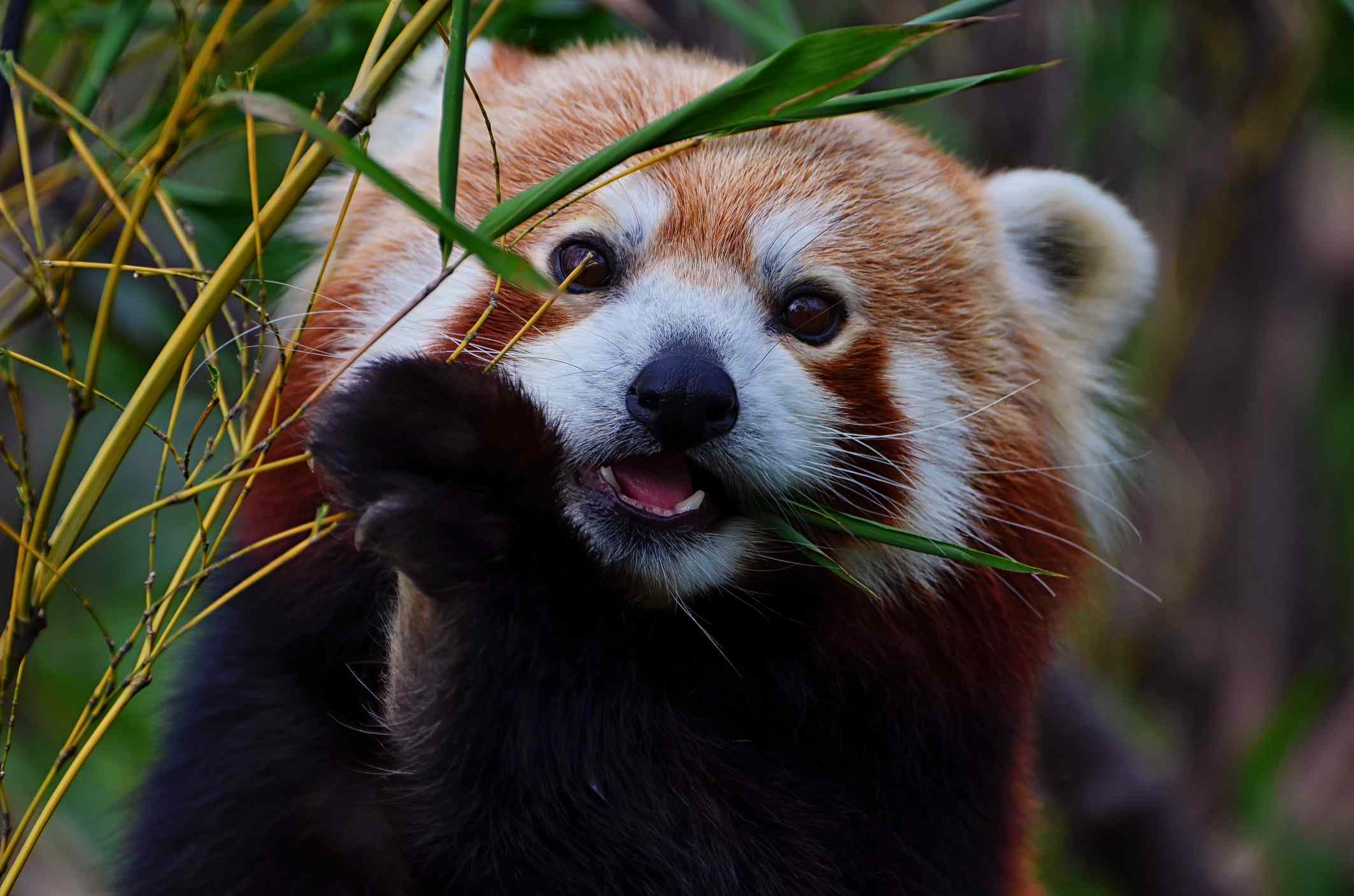 A red panda eating bamboo leaves