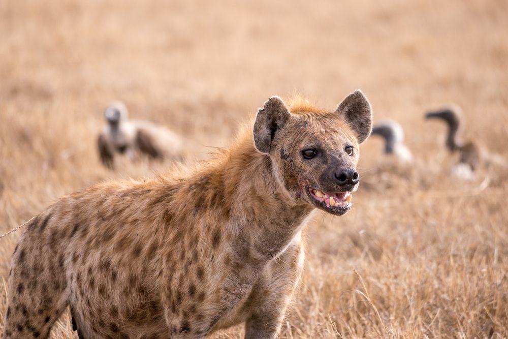 spotted hyena on savanna in Tanzania
