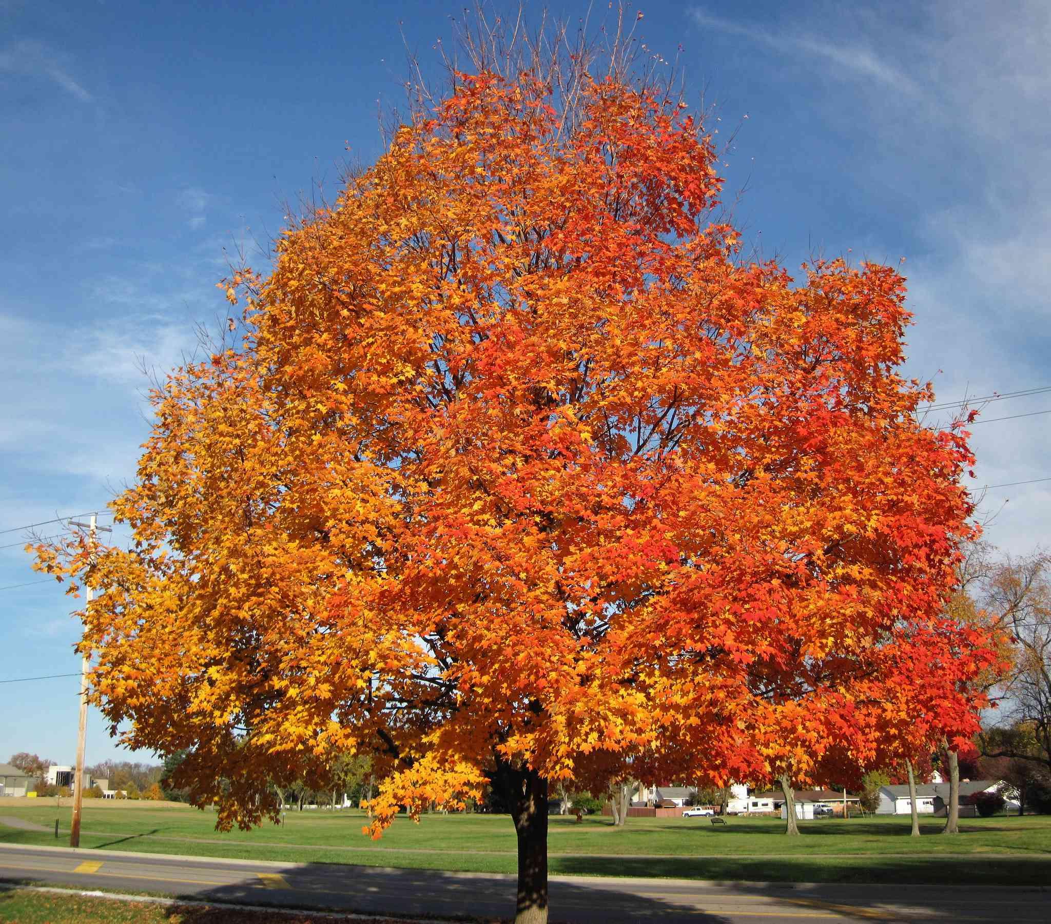 sugar maple, Acer saccharum, in Ohio
