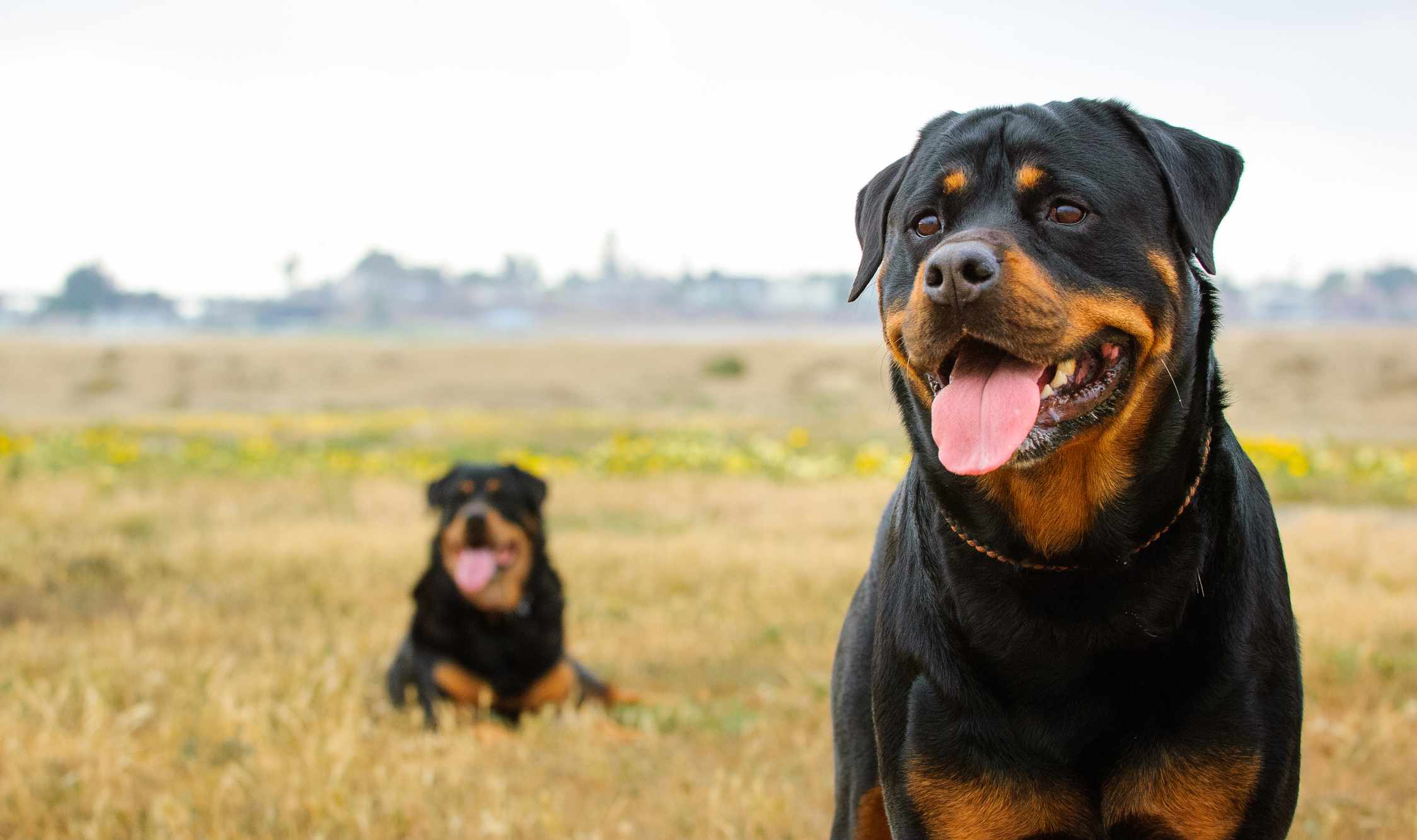 pair of rottweilers in a field sitting with tongues out