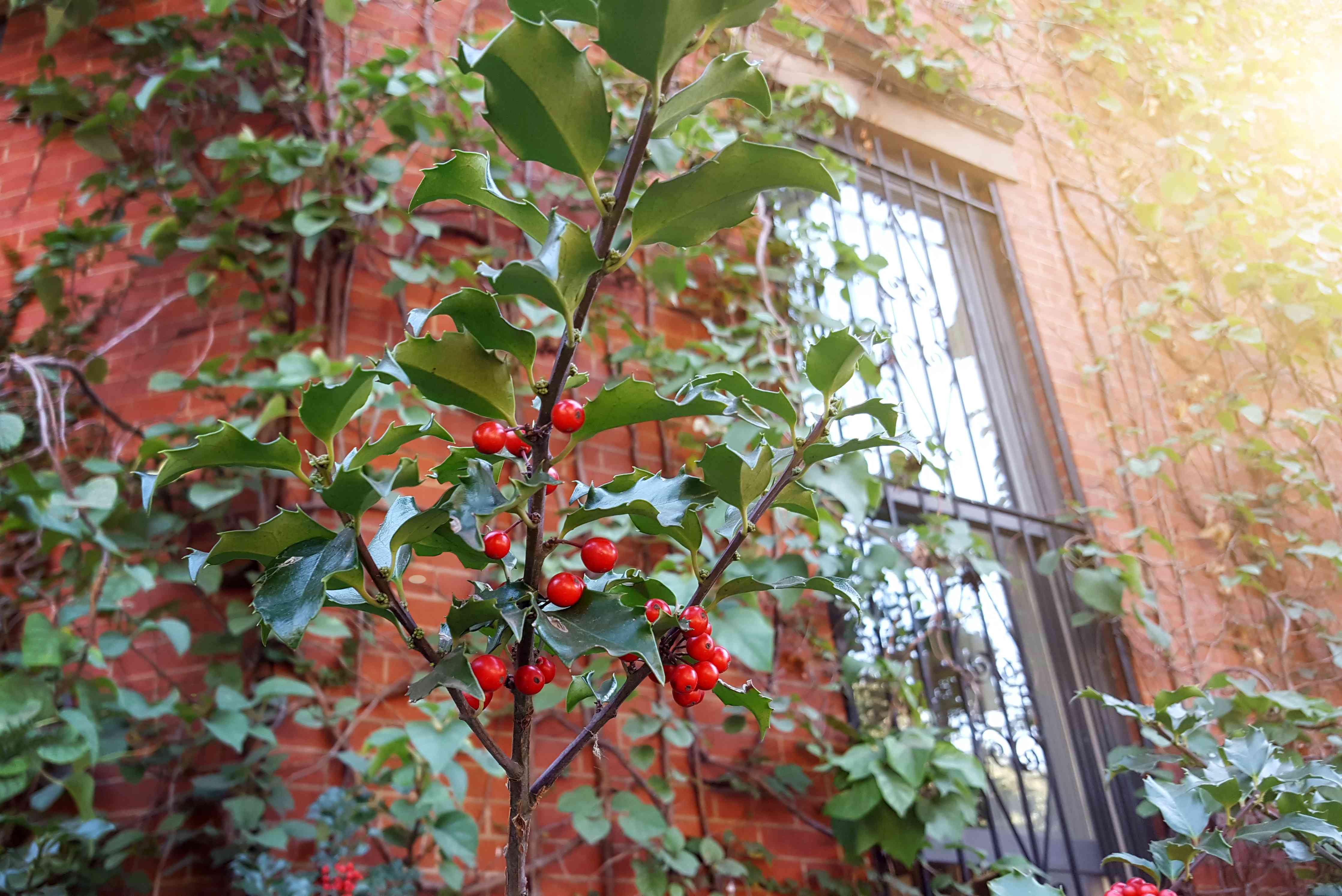 Detail of Common Holly bush with berries on fence of townhouse in Manhattan, New York City