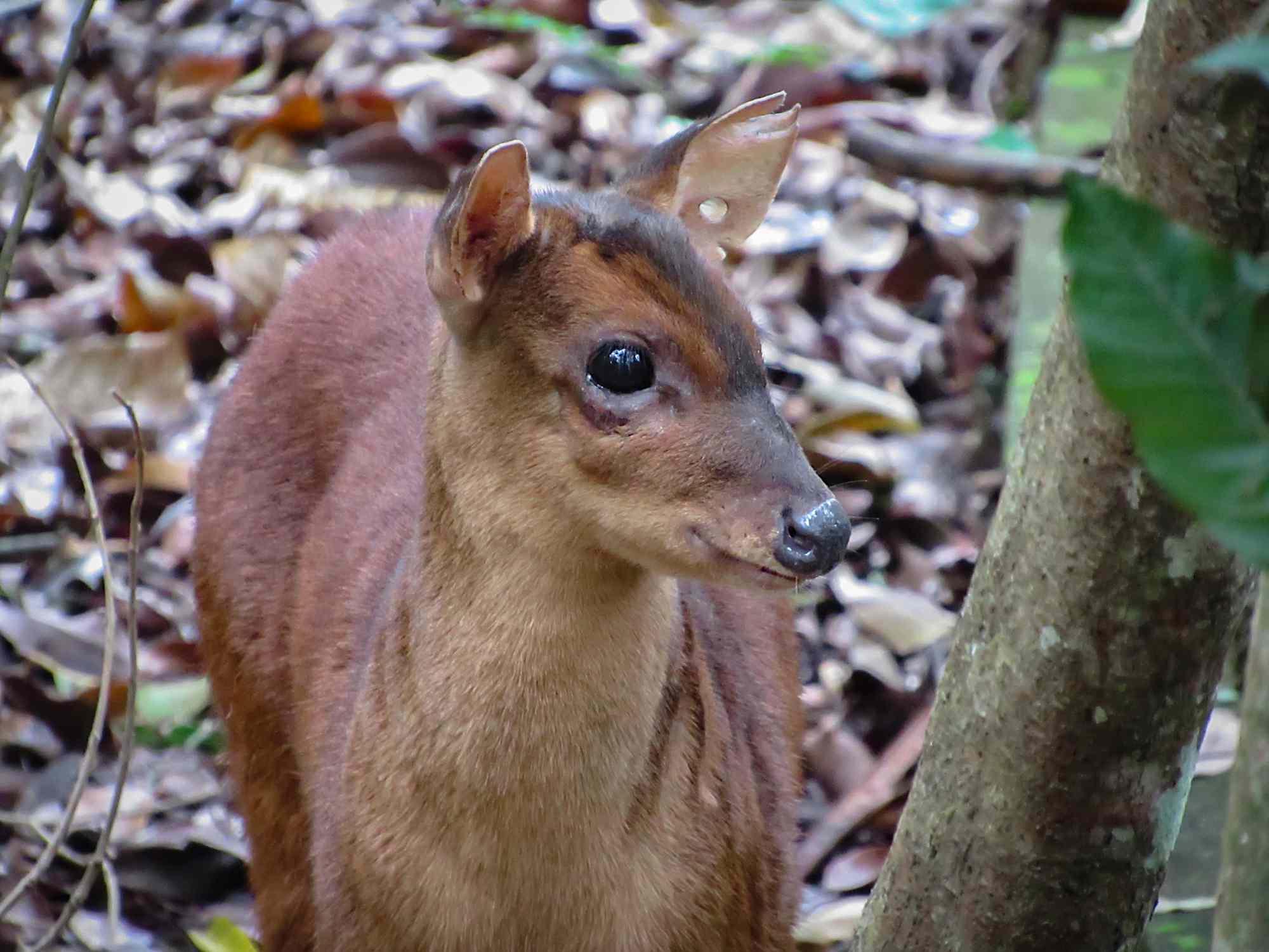 Little Red Brocket Deer