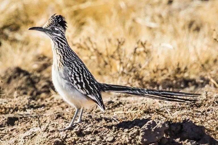 a greater roadrunner standing in a desert