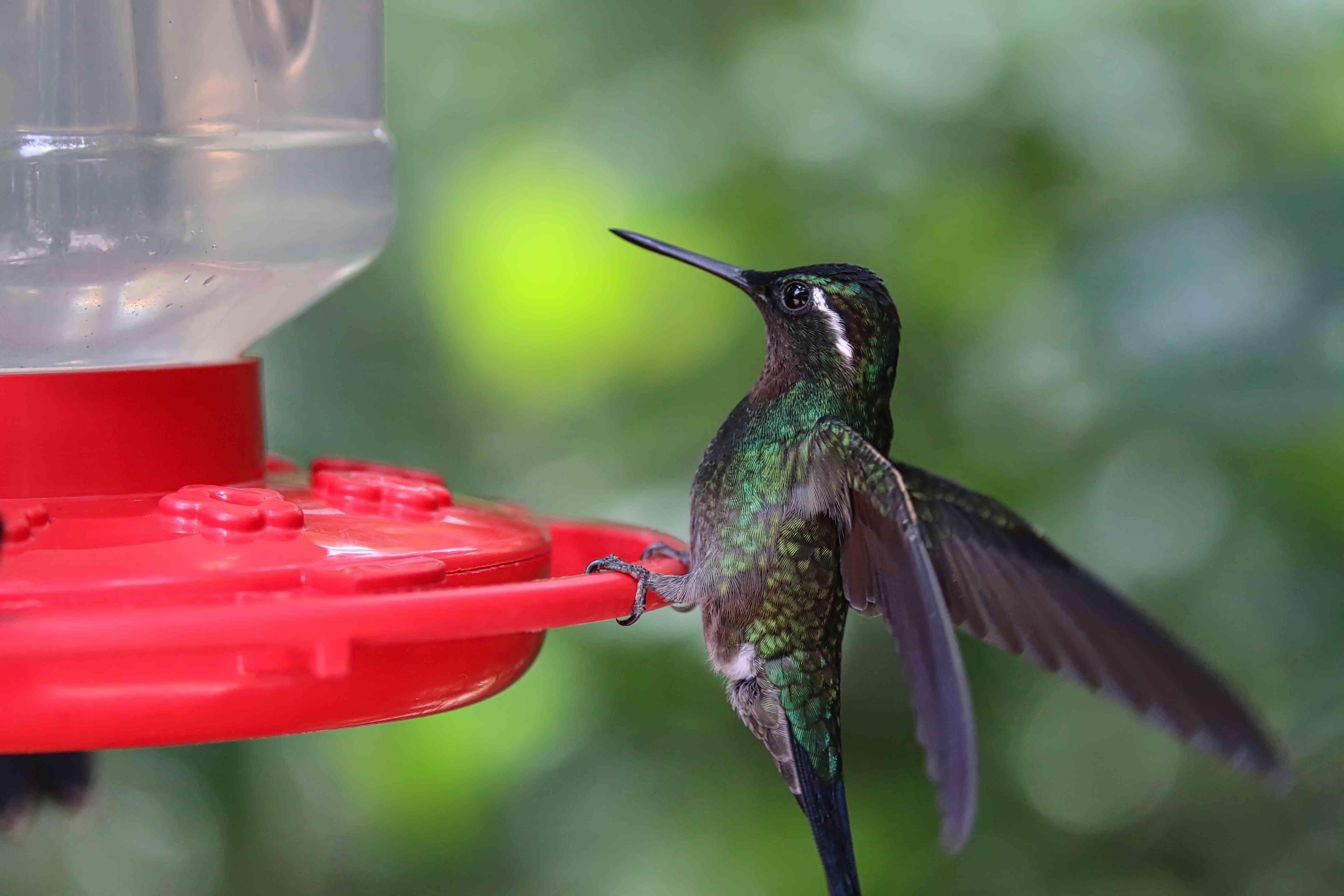 Green-crowned brilliant hummingbird perched on feeder