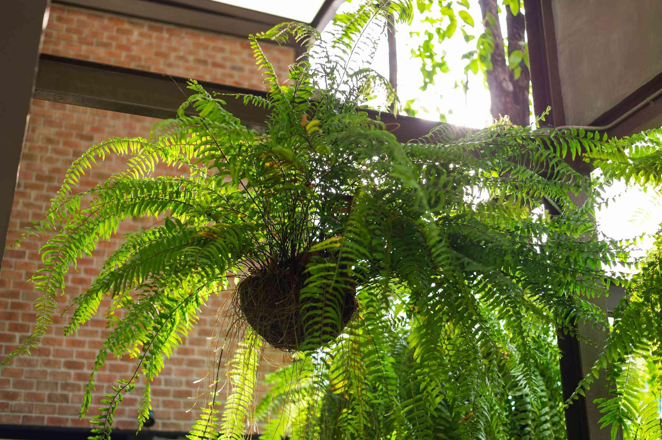 Boston fern in hanging planter