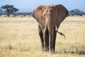 Front view of a bull elephant in the grasslands of Amboseli National Park.