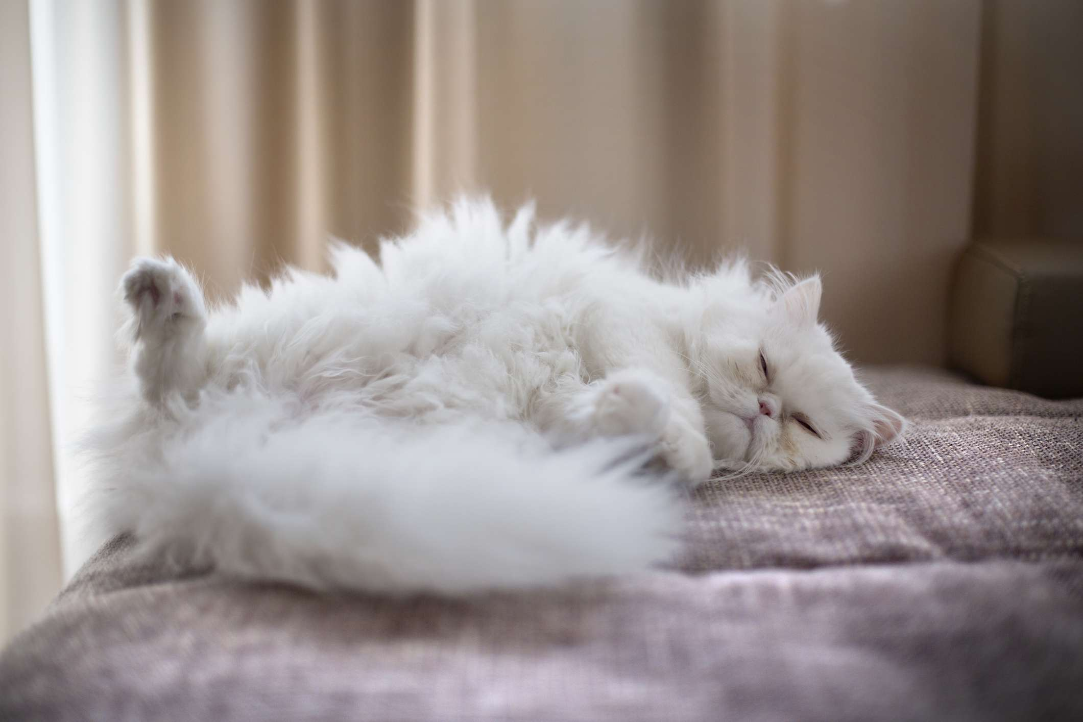 white persian cat lying on back on couch with fur mussed