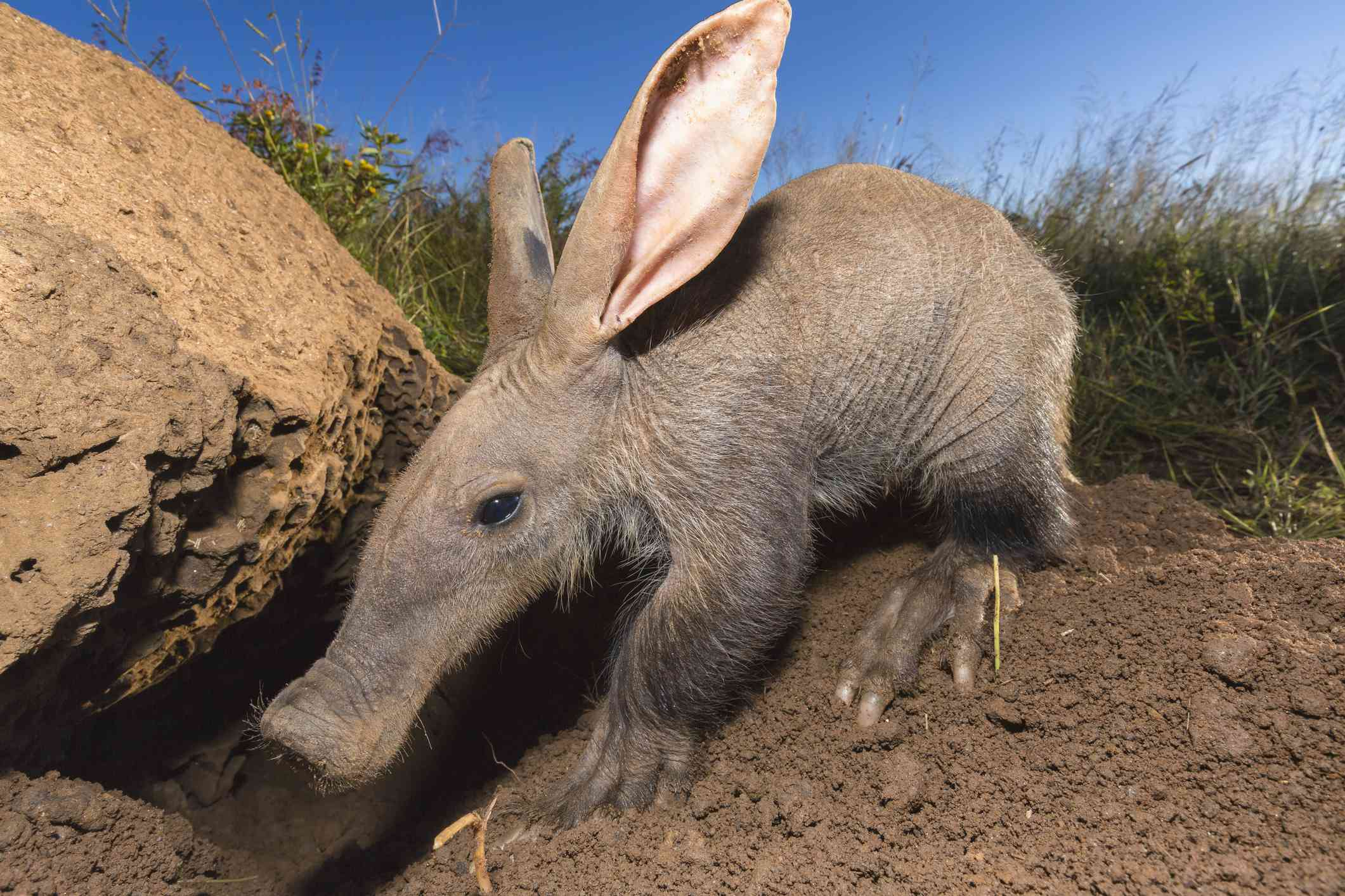 Young Aardvark(Orycteropus afer)looking for ants and termites.Namibia