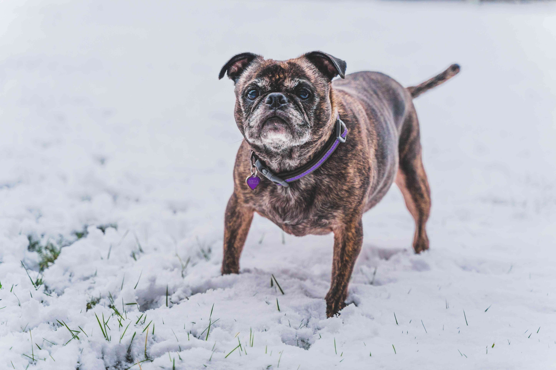 Senior bugg standing in snow