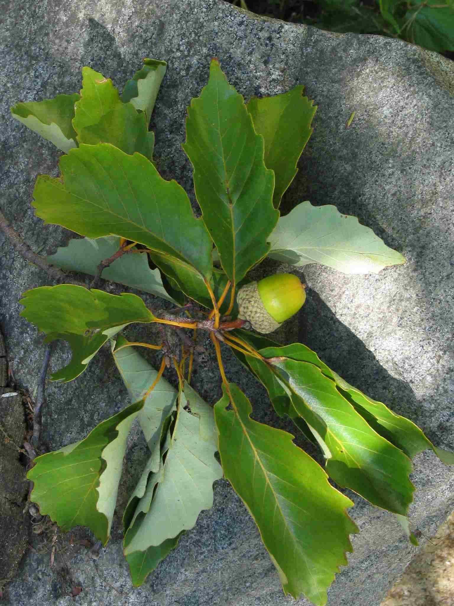 chestnut oak leaves and acorn