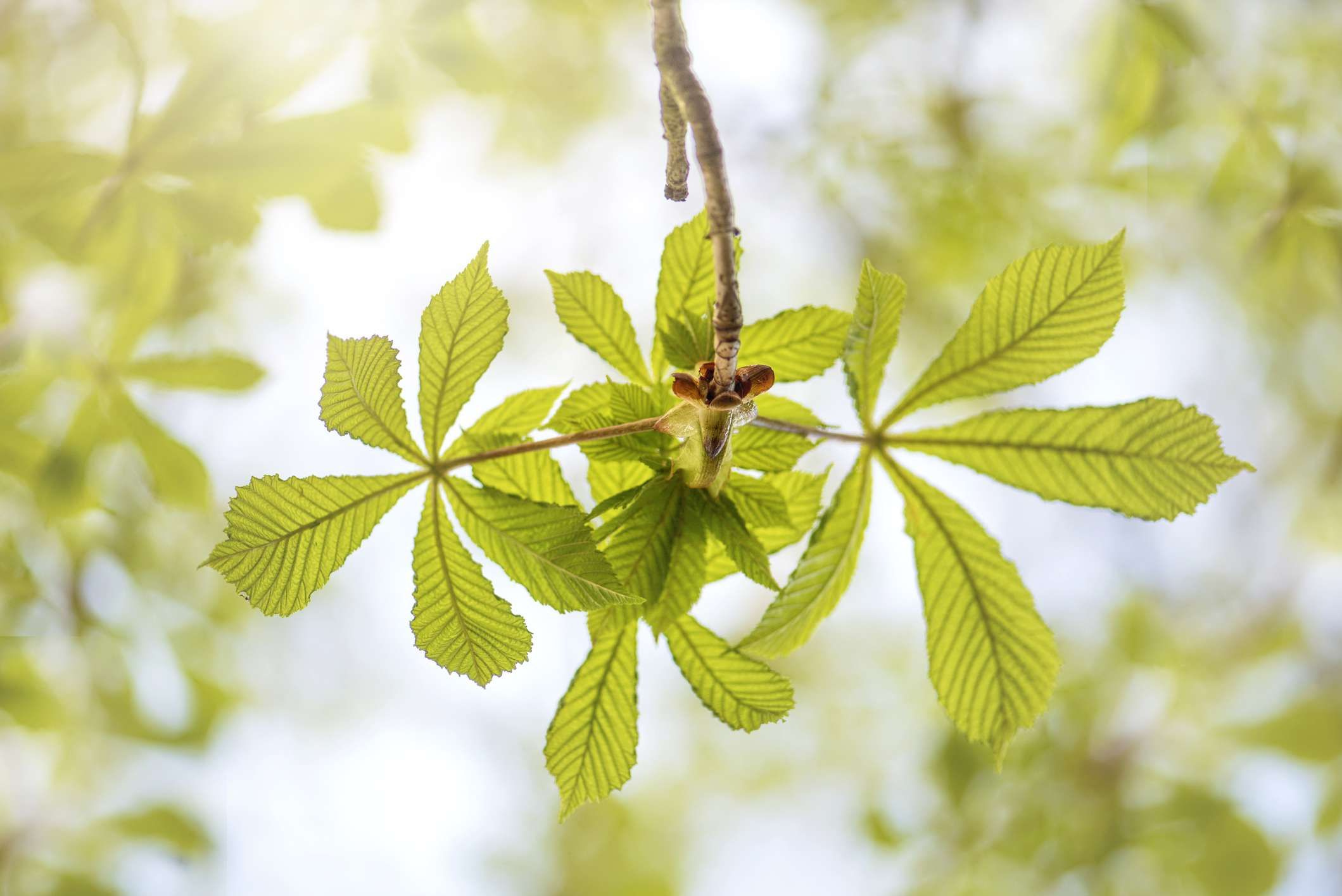 Close-up image of vibrant, green Horse Chestnut leaves in the spring.