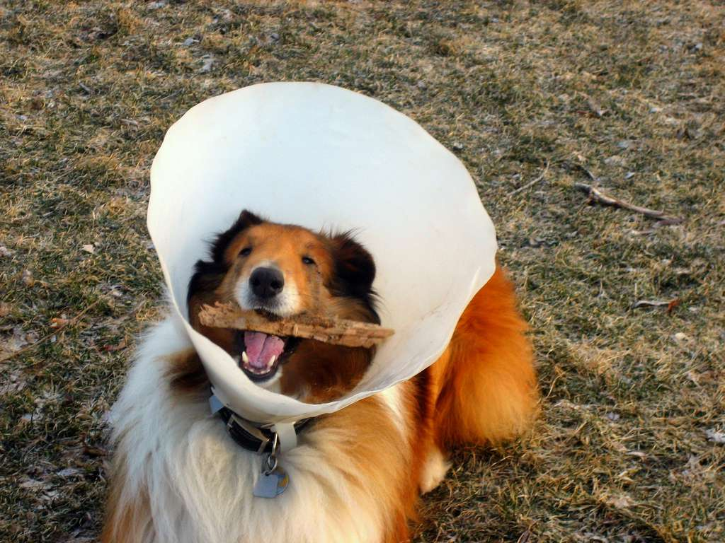dog wearing cone, carrying stick