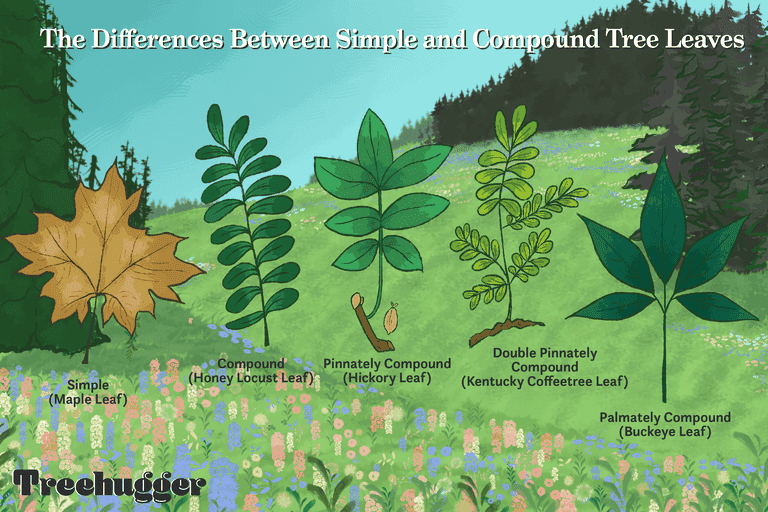 differences between simple and compound tree leaves