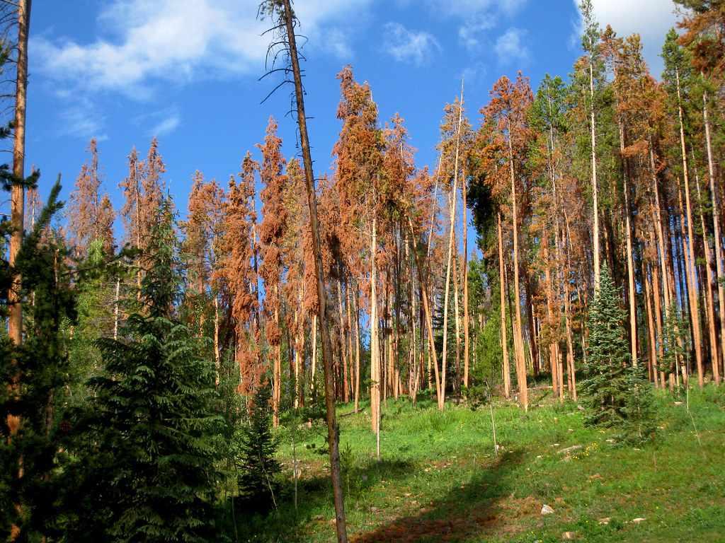 dead lodgepole pine photo