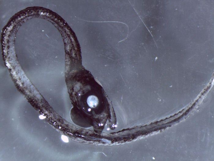 Idiacanthidae