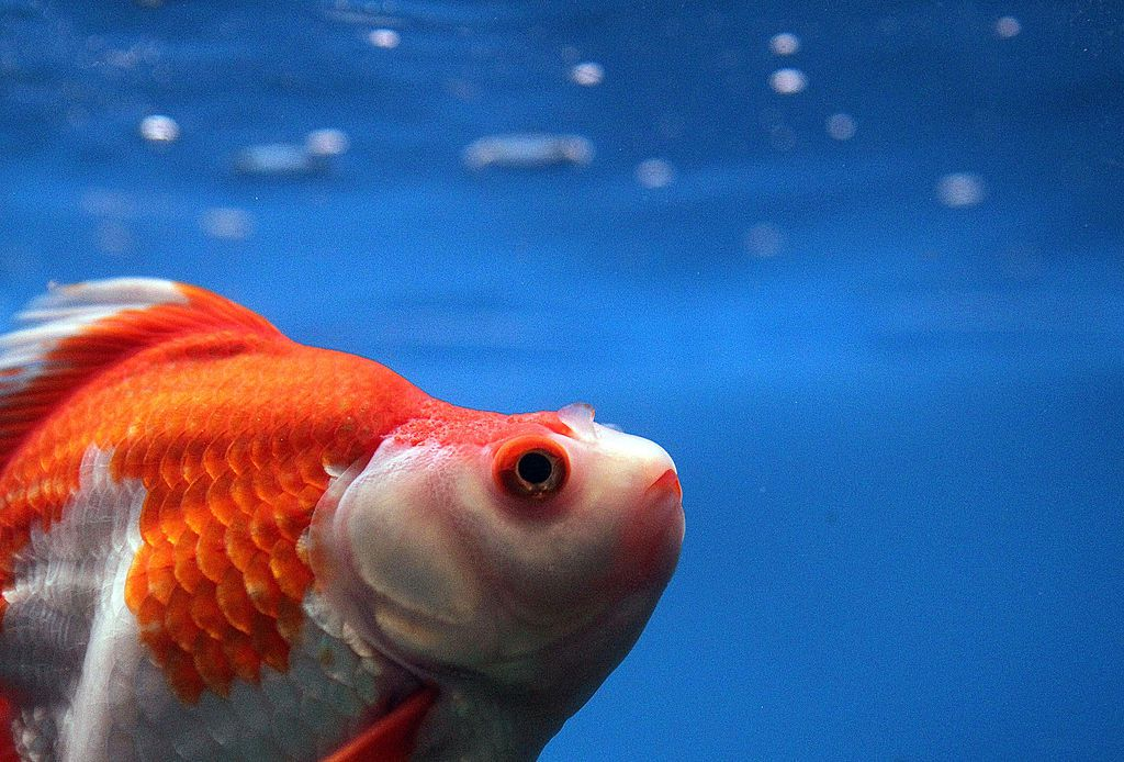 A swimming goldfish looks up.