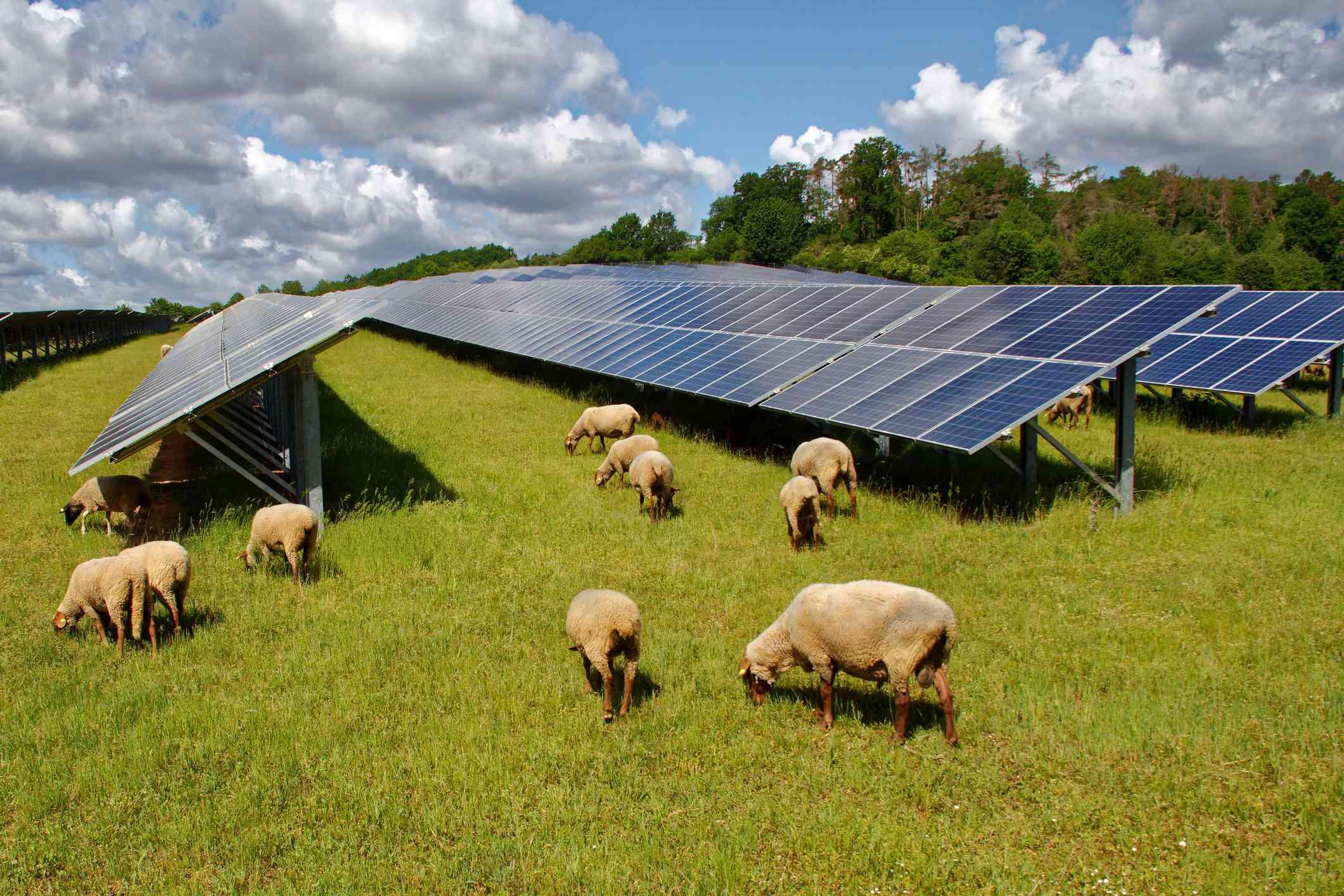 Sheep graze around and under a solar farm.