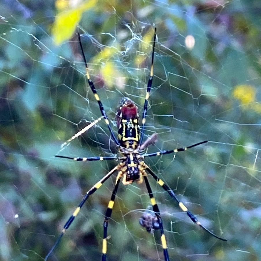 Joro spider in web
