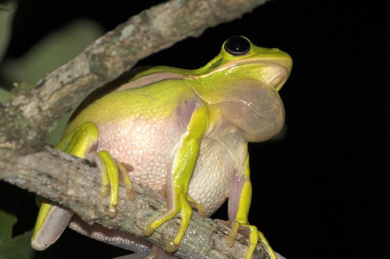 green tree frog calling from a tree branch