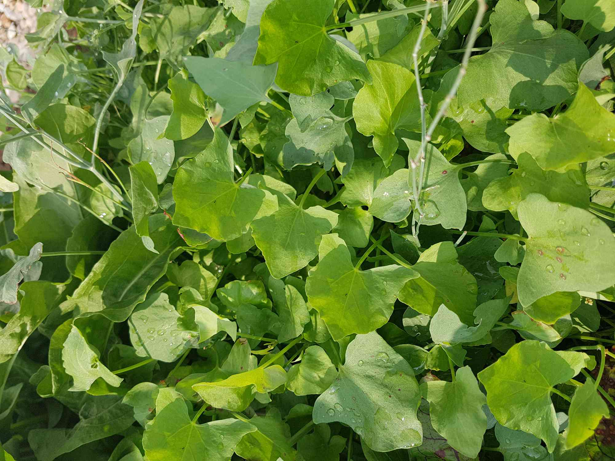 A patch of green sorrel leaves in a garden