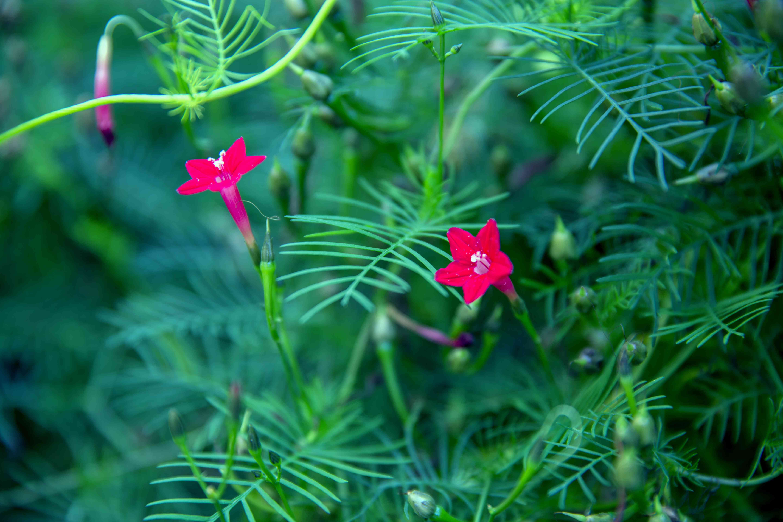 Star glory(Ipomoea quamoclit or Quamoclit pennata)