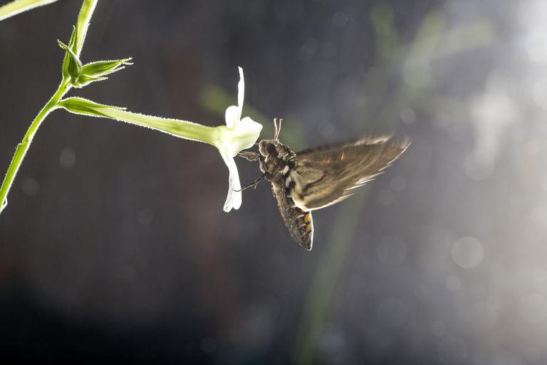 tobacco hawkmoth on flower