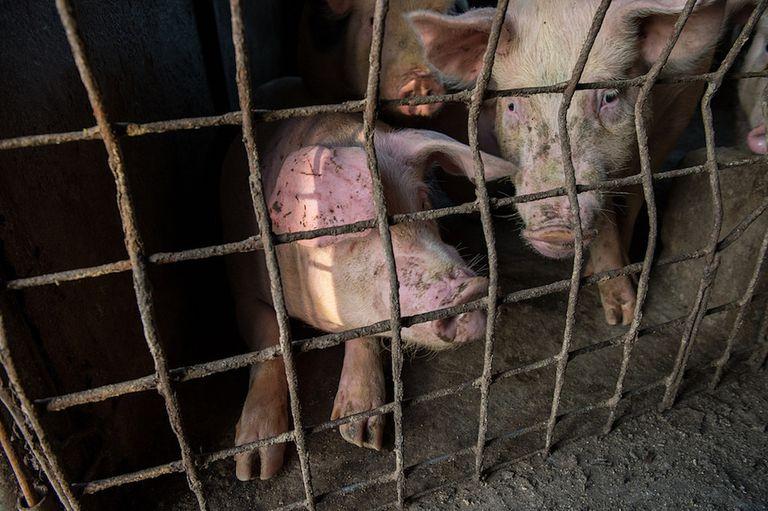España tiene más cerdos que personas