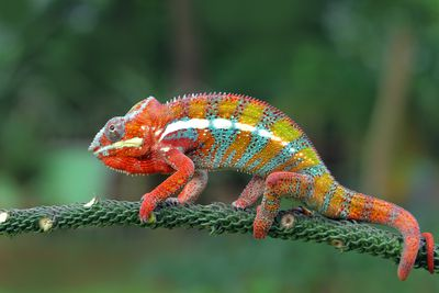 Colorful panther chameleon on a spiny branch