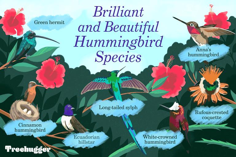 brilliant strange and beautiful hummingbird species illustration