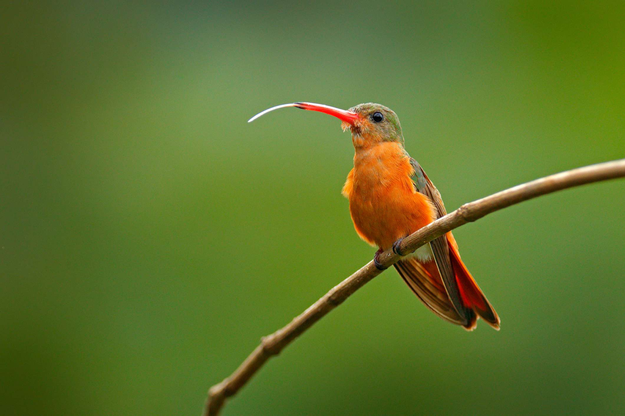 Cinnamon hummingbird with tongue perched out on a branch