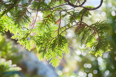 Sunlight beaming through Incense Cedar tree branches.