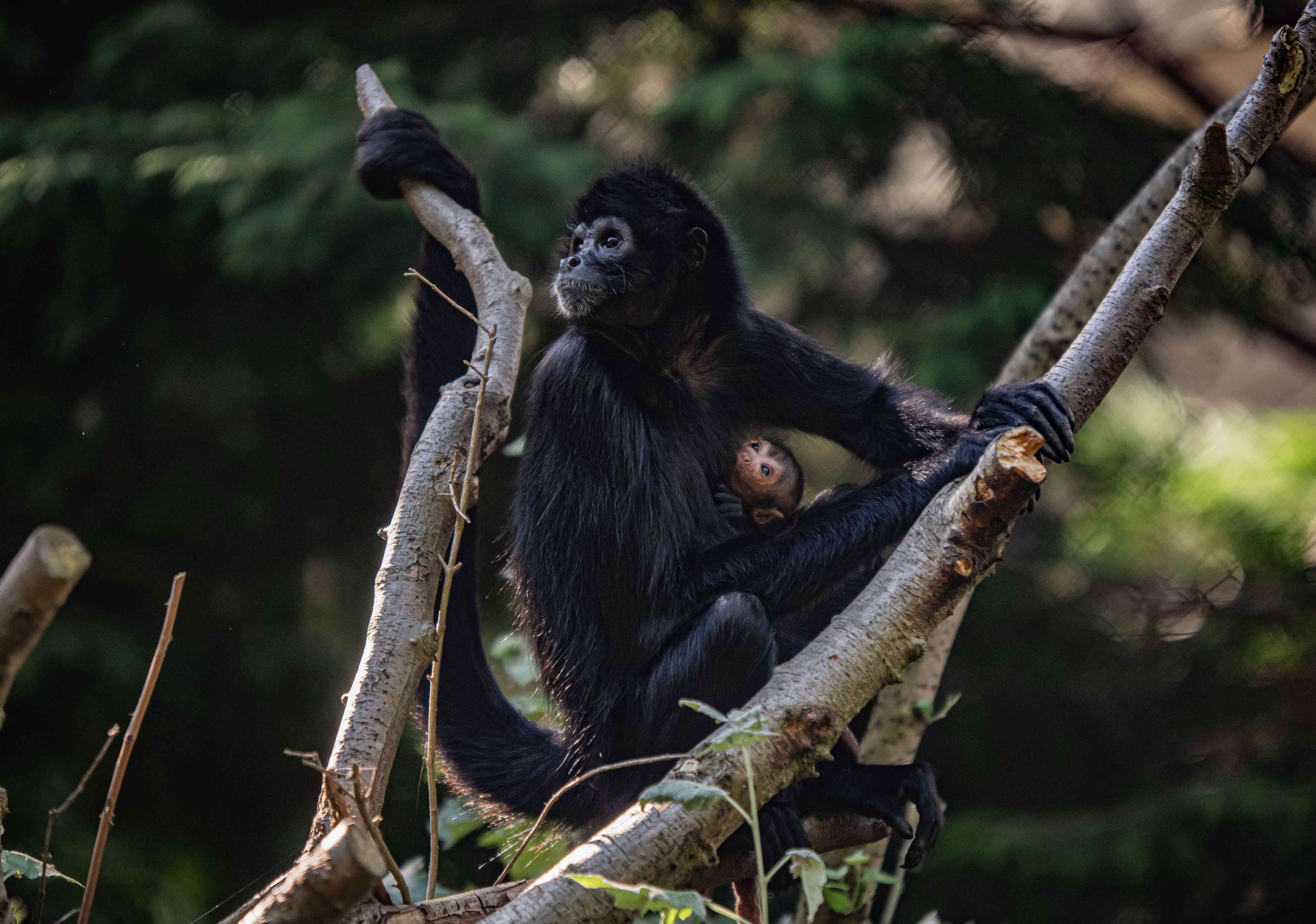 Colombian black-headed spider monkey mom and baby
