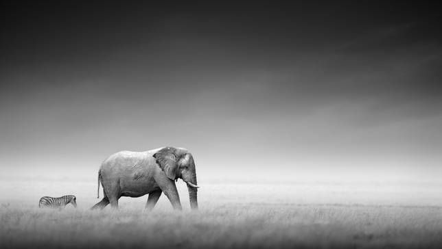 A lone elephant and zebra walk acorss a savanna