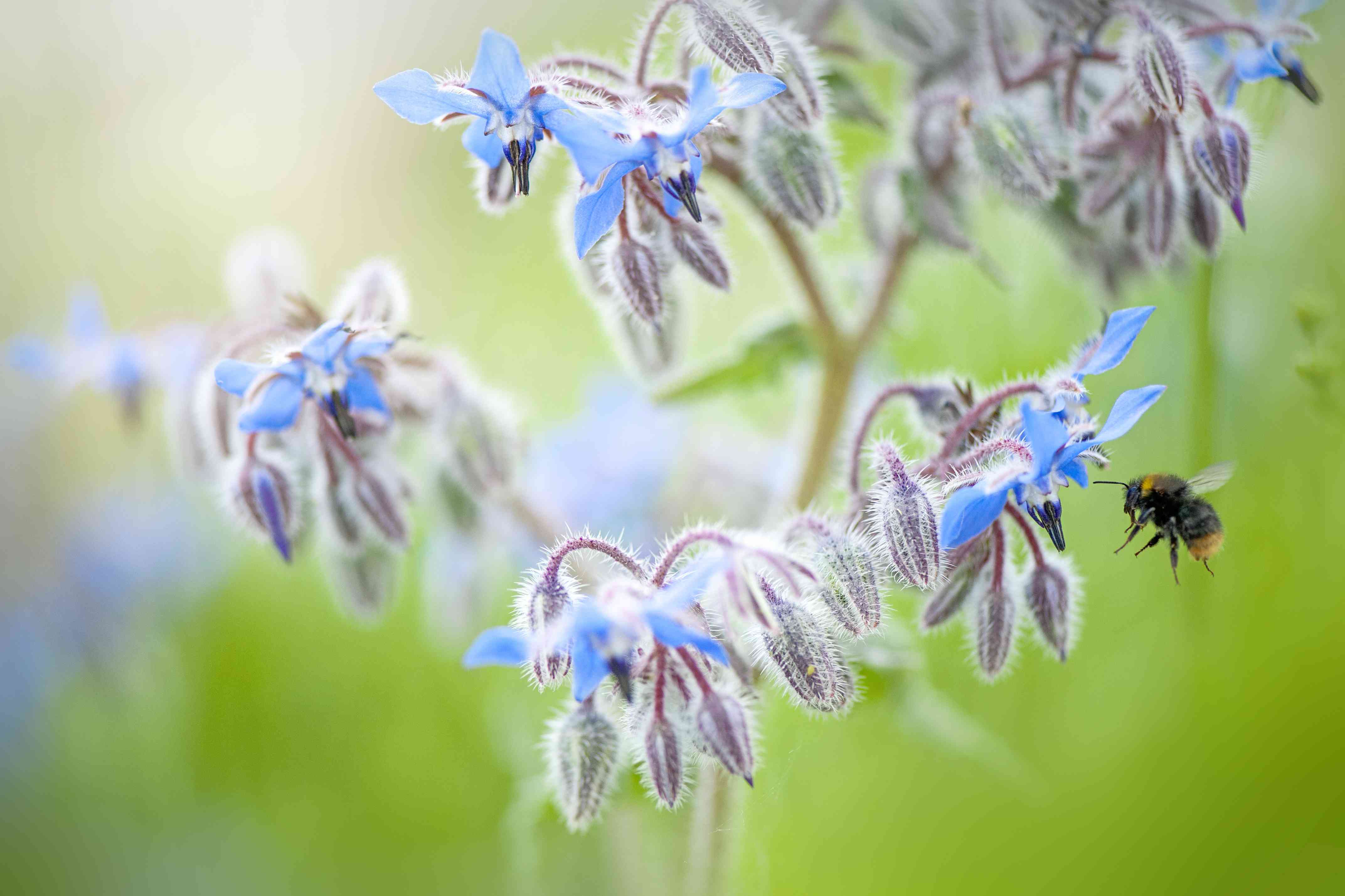 Close-up image of Borage blue flowers - Borago officinalis, also known as a starflower with a bee