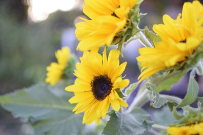 bright yellow sunflowers in bloom grow outside in small garden