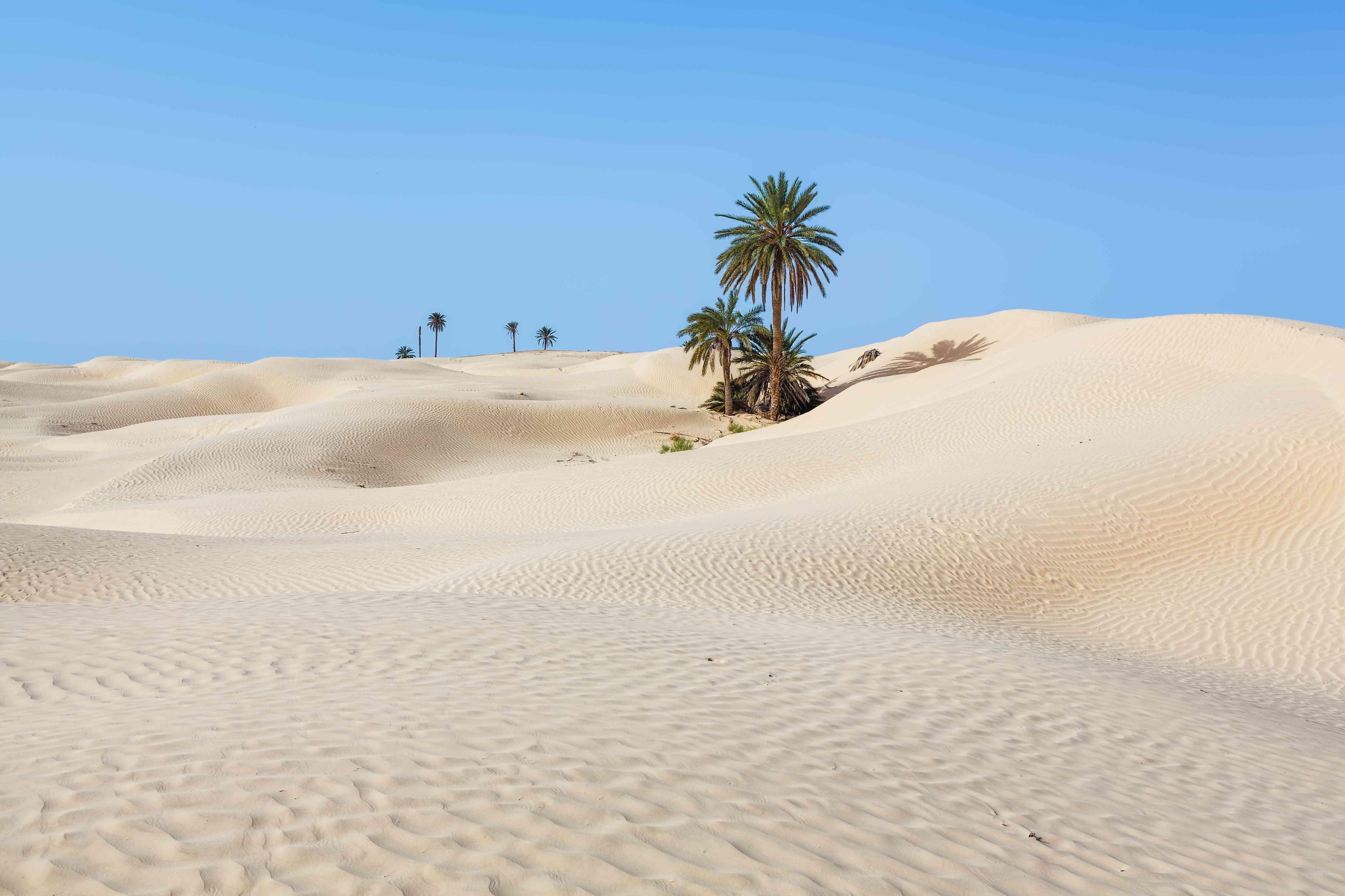 Palm trees in Kebili, Tunisia