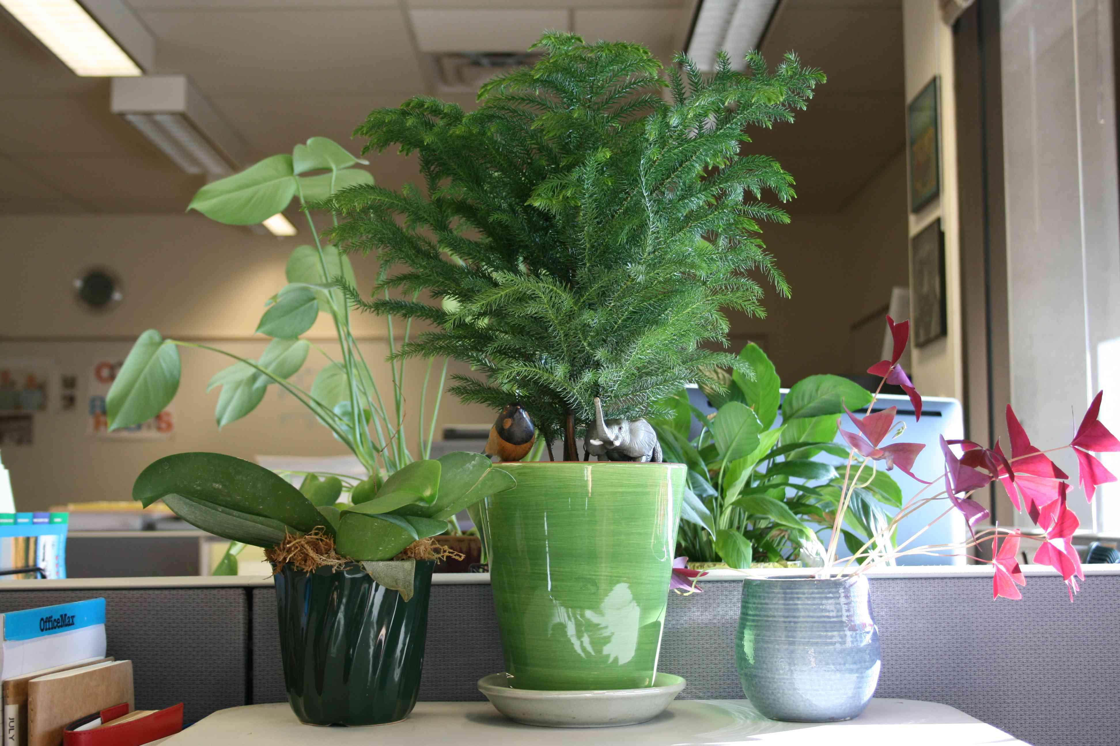 Norfolk Island tree in a green pot in an office.
