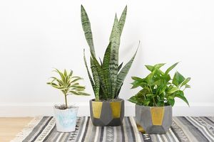 Three potted plants sit on a rug
