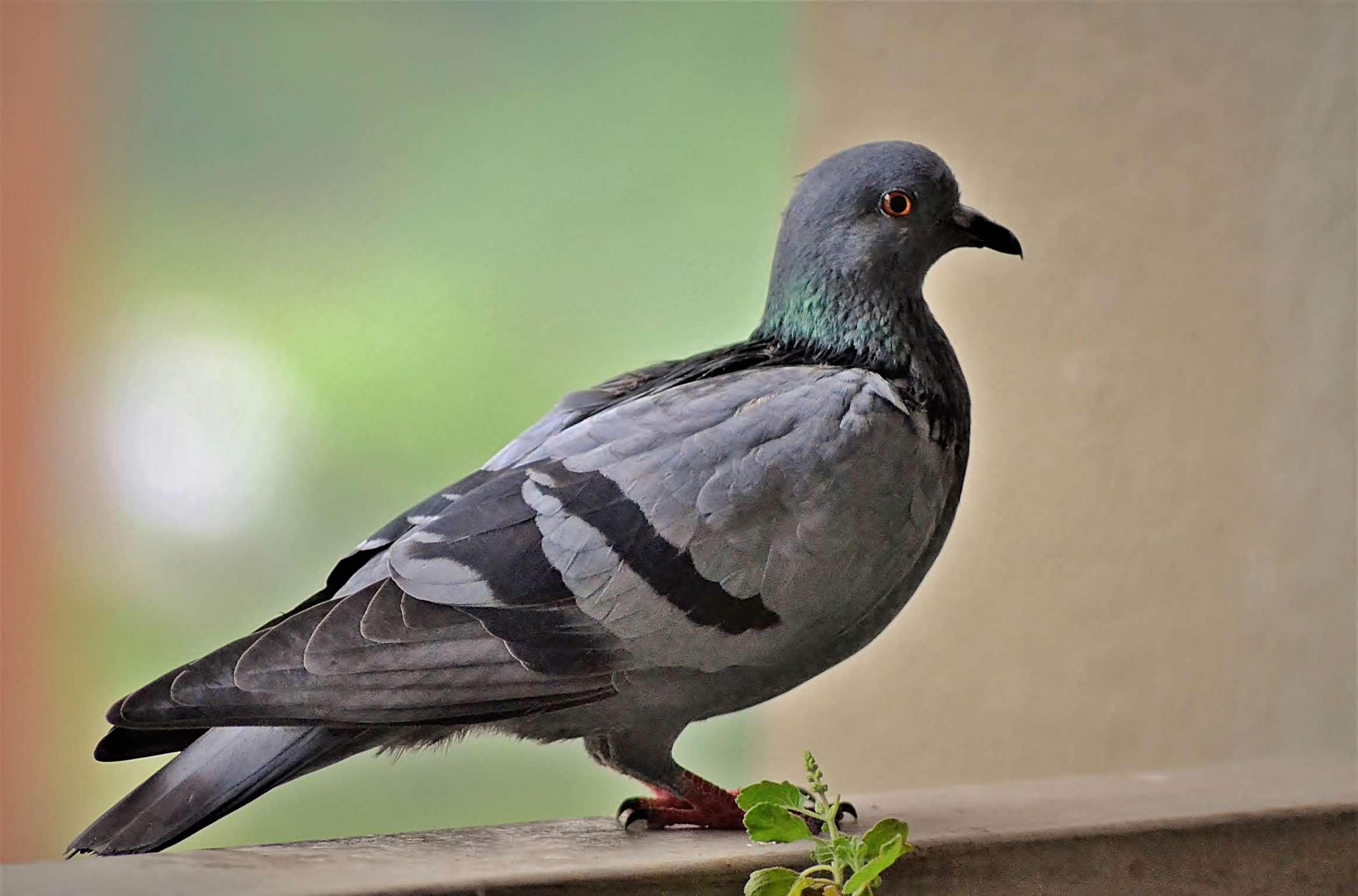 Rock dove perched