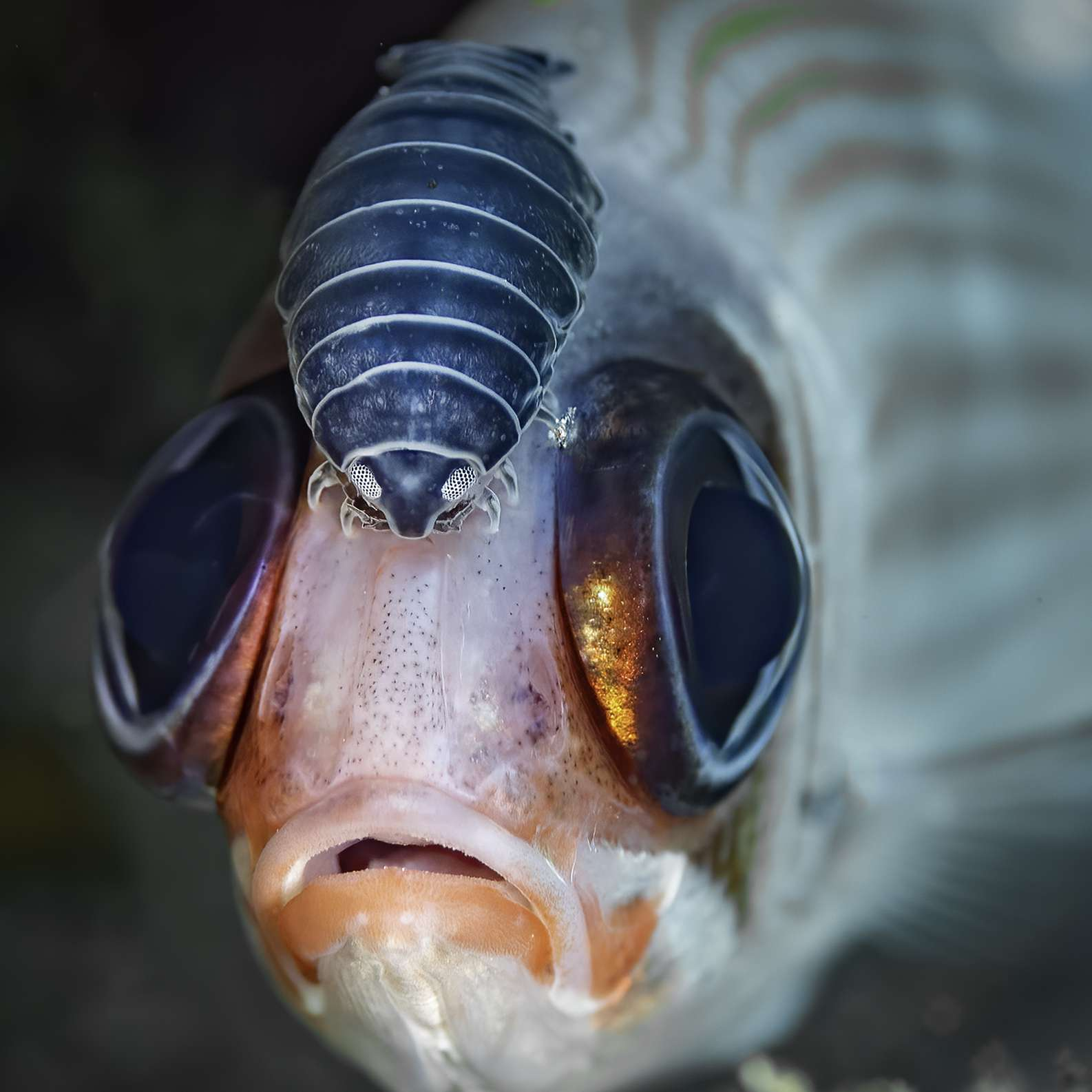 soldier fish with isopod
