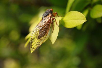 Brood X cicada perched on tree leaves