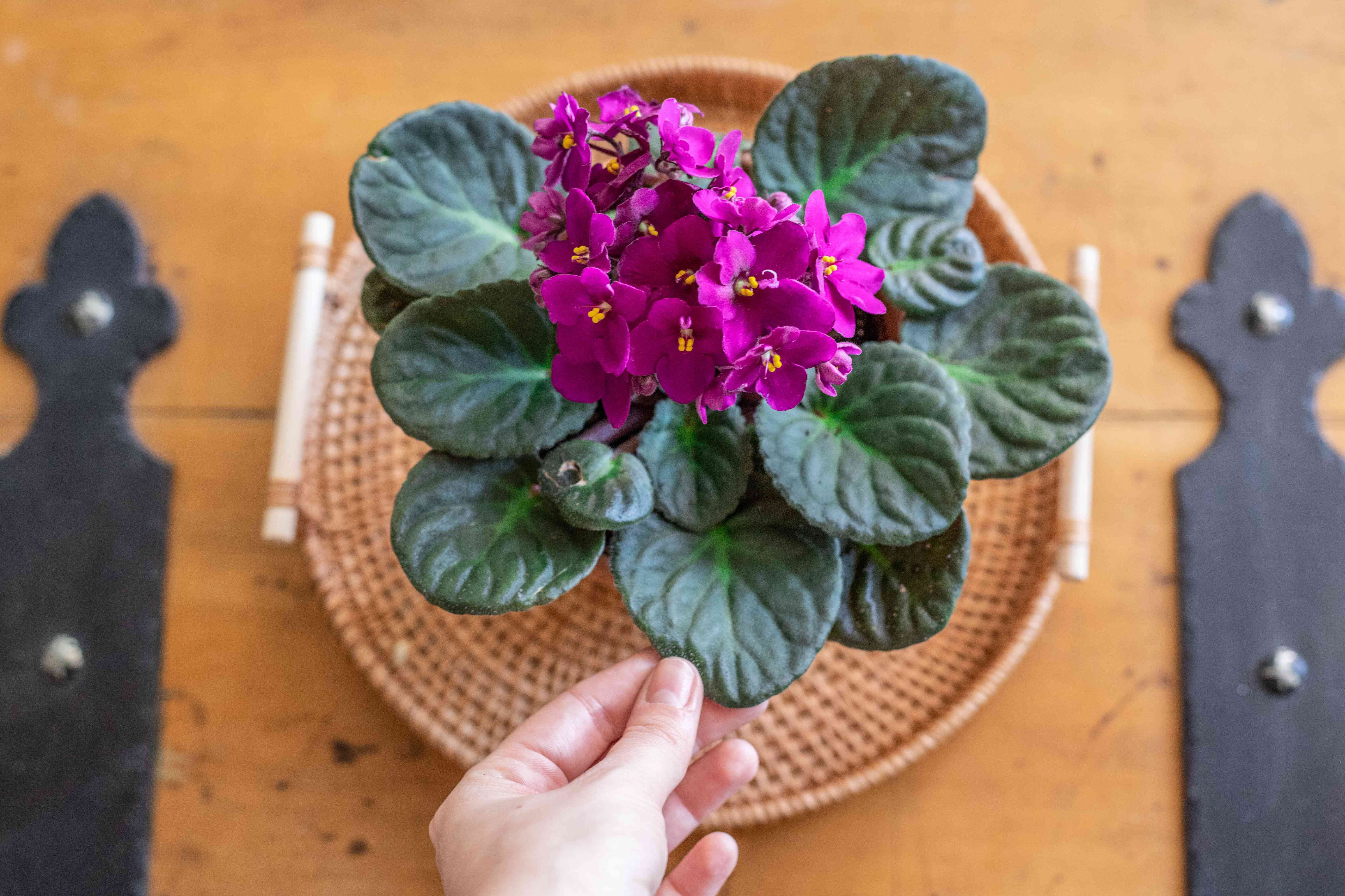 overhead shot of hands touching african violet plant fuzzy leaves