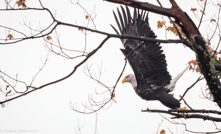A bald eagle taking flight from a tree