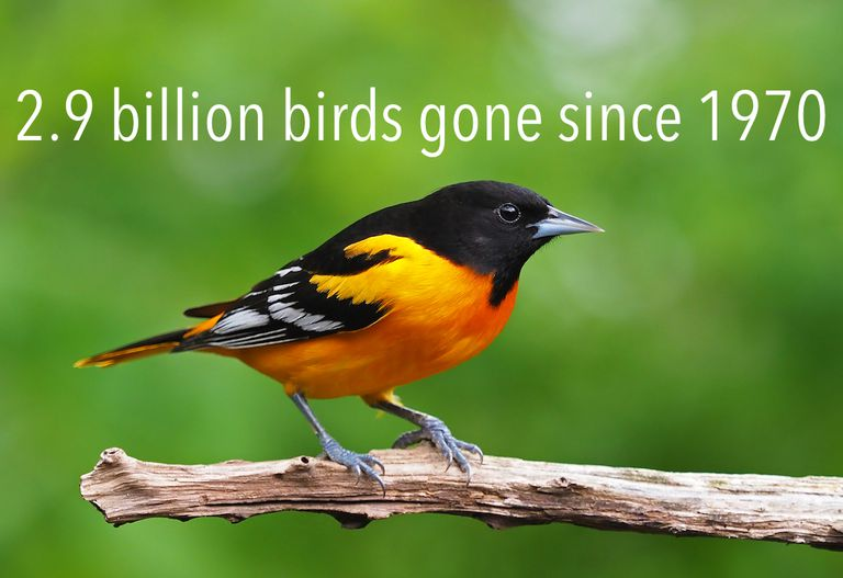 """Baltimore oriole on a branch with words """"2.9 billion birds gone since 1970"""" above"""